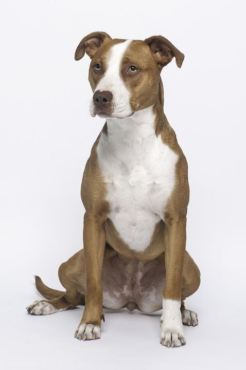 Entstehung des American Pitbull Terriers