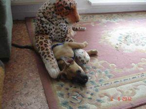 Pitbull gegen (Plüschtier-) Leopard